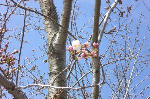 桜だより 今日の様子