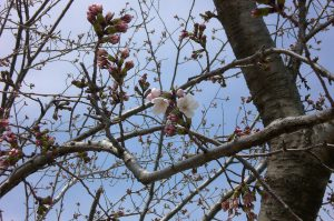 桜だより 今日の様子  開花