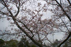 桜だより 今日の様子  五分咲き