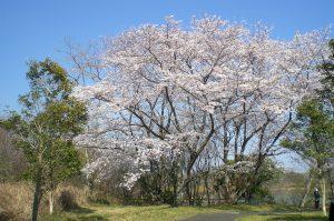 桜だより 今日の様子  満開