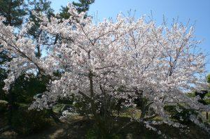 桜だより 今日の様子  散り始め