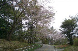 桜だより 今日の様子  葉桜